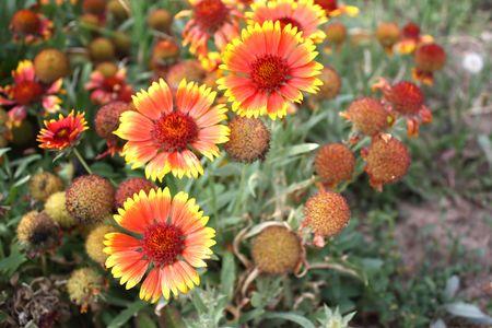 lain: chrysanthemum