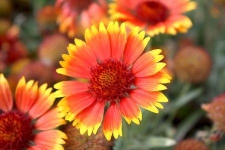 orange chrysanthemum