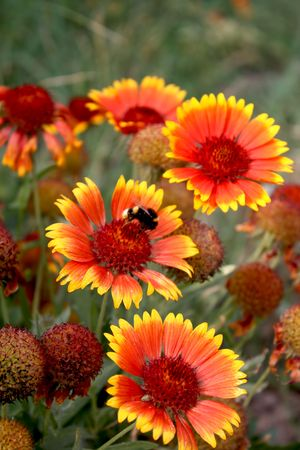 chrysanthemum and a bee Stock Photo
