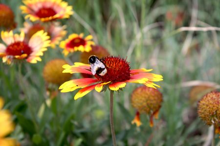 lain: chrysanthemum and a bee Stock Photo