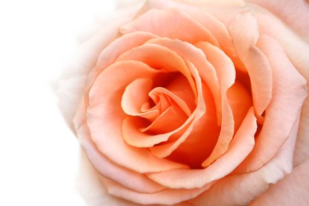 apricot: rose background