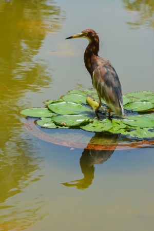 bacchus: Chinese Pond Heron  (Ardeola bacchus)