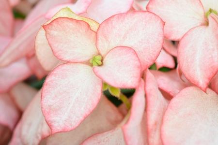 spp: Dona flower (Mussaenda spp.)