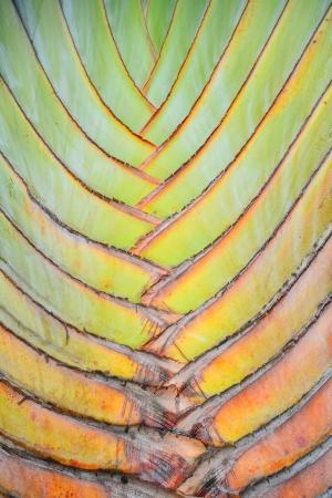 mottle: Texture e strisce modello di albero del viaggiatore (Ravenala madagascariensis)