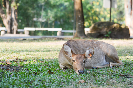 crouches: Elds deer (Cervus eldi thamin) crouches on the lawn