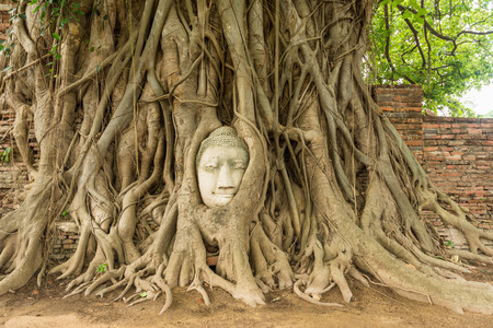 Buddha head in Bo tree  Ficus religiosa photo