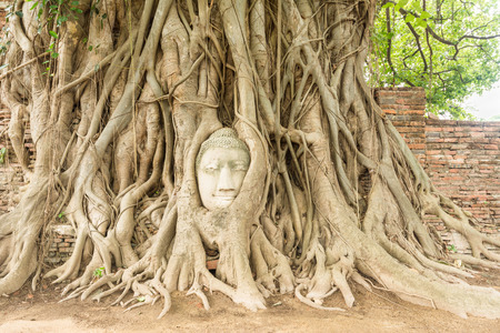 Buddha head in Bo tree (Ficus religiosa) photo