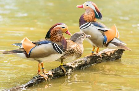 aix galericulata: Male and female Mandarin duck (Aix galericulata)