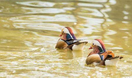 aix galericulata: Two Mandarin ducks (Aix galericulata) swim in garden pond