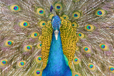 blue peafowl: Close-up Male Indian peafowl or blue peafowl (Pavo cristatus) in a fan-like displaying