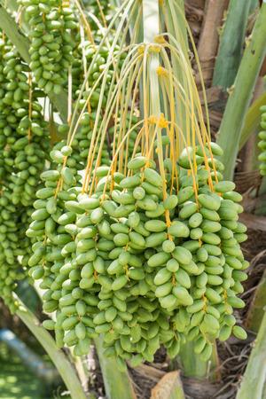 dactylifera: Bunch of unripe Date palm (Phoenix dactylifera) Stock Photo