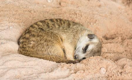 catnap: Cute meerkat (Suricata suricatta) sleeping Stock Photo