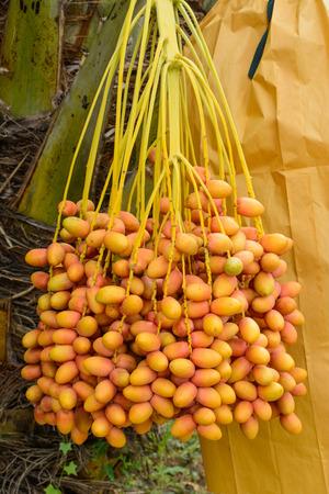 dactylifera: Bunch of Date palm (Phoenix dactylifera) Stock Photo
