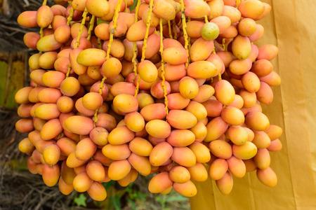 dactylifera: Date palm (Phoenix dactylifera)