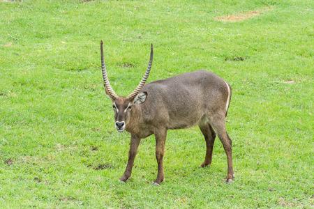 grazer: Common waterbuck (Kobus ellipsiprymnus) stands on grass field