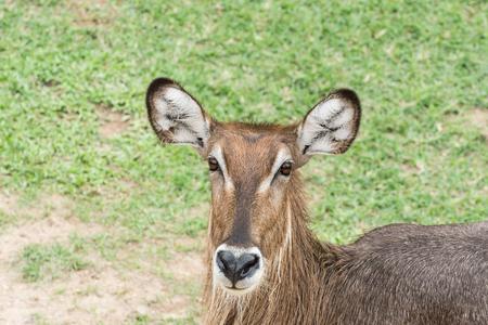 and diurnal: Common Waterbuck or Ellipsen waterbuck (Kobus ellipsiprymnus) Stock Photo