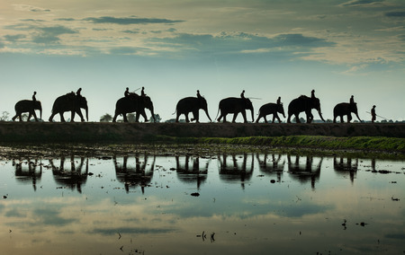 reflection: Silhouette walking elephants and water reflection