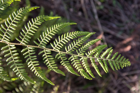 polypodiopsida: fern