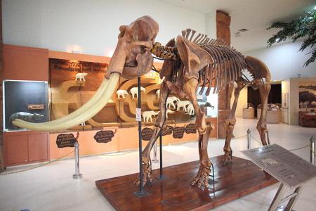 wooly mammoth: Mammoth fossil , korat fossil museum