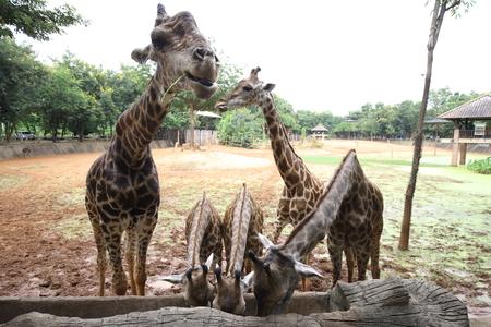 Group Giraffe eat food