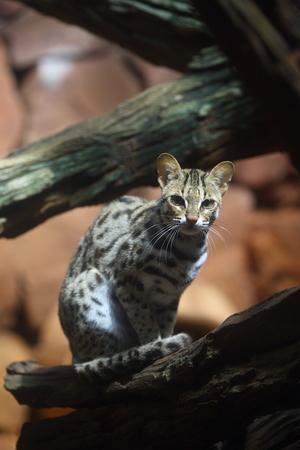 clouded leopard: Clouded Leopard