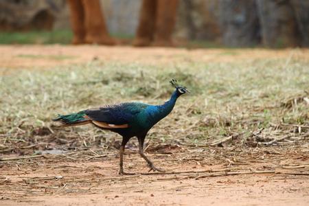Thai Peacock photo