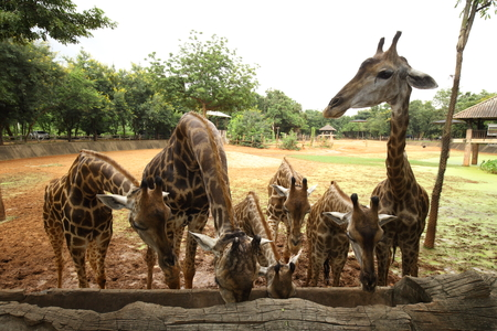 somali giraffe: Group Giraffe eat food