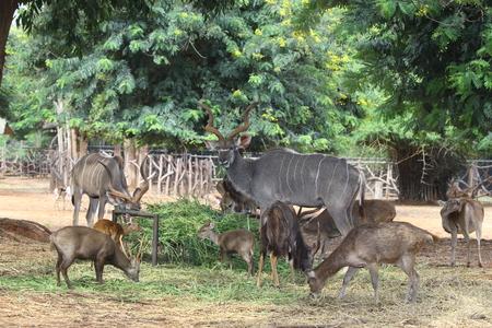 Male Greater Kudu
