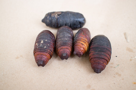 jhy: fagara silkworm