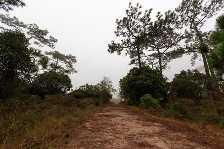 phukradueng: morning mist cover pine tree forest form Phukradueng Nationalpark Stock Photo
