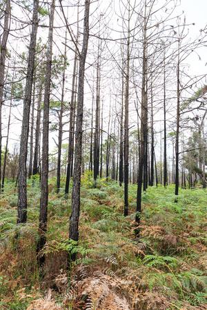 phukradueng: Pine tree on the phukradueng national park in thailand Stock Photo