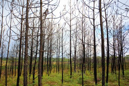 phukradueng: Burnt trees after a forest fire at Phukradueng Nationalpark