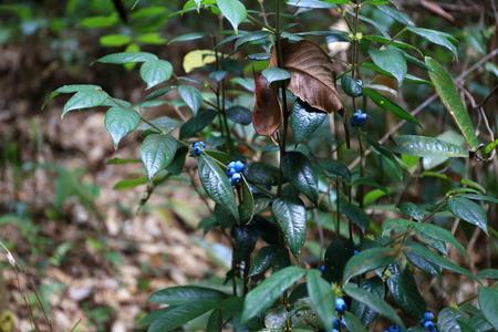 phukradueng: Wild berries at Phukradueng Nationalpark Stock Photo