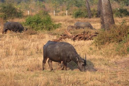 buffalo grass: Thai Buffalo eating grass