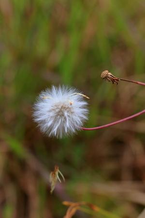 phukradueng: wide flower at Phukradueng Nationalpark Stock Photo
