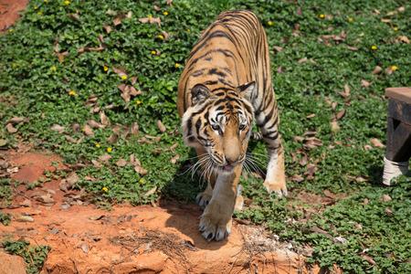 korat: Thai Tigger in korat zoo  nakornratchasima Thailand