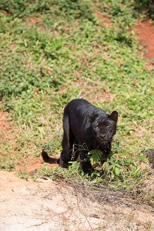 korat: black jaguar in korat zoo thailand