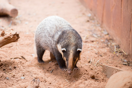stocky: hog badger,arctonyx collaris Stock Photo