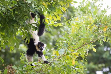 and diurnal: black-and-white ruffed lemur Stock Photo