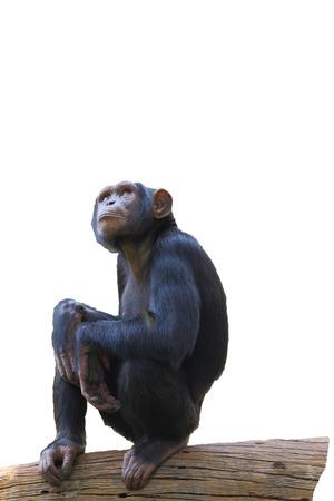 simia troglodytes: Chimpanzee on a white background Stock Photo