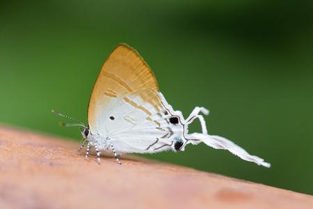lycaeninae: long-tailed butterfly Cheritra freja frigga