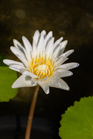 lilia: Water lily on the lake close up