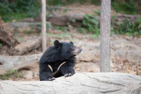 snoot: Malayan sun bear, Honey bear