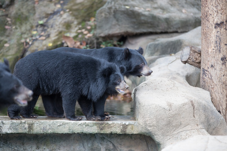 snoot: Malayan sun bear, Honey bear