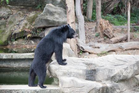 banter: Malayan sun bear, Honey bear