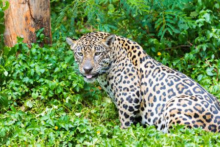 Jaguar wet ride in the woods. Stock Photo