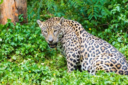 tigresa: Jaguar wet ride in the woods. Foto de archivo