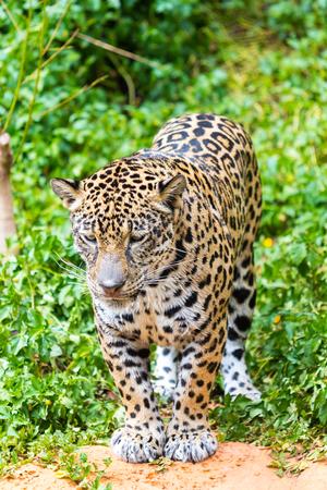 tigresa: paseo en mojado Jaguar en el bosque.