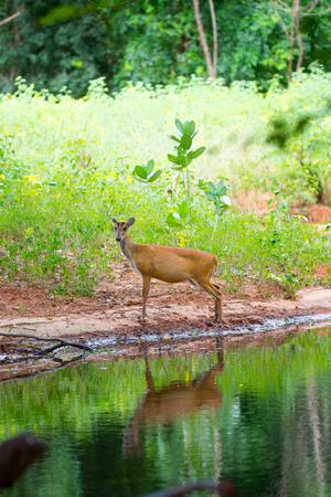 source d eau: Female deer standing near a water source.