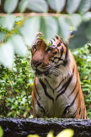Tiger hiding behind a tree. Stock Photo